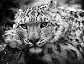 Snow leopard in black and white is a photograph by chris boulton which