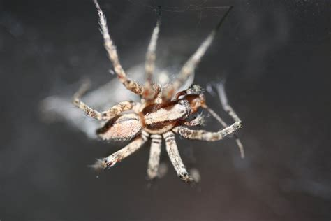 spiders in couch large couch spider by ofgermanblood on deviantart