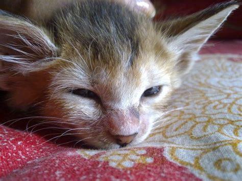 Special Cat Milk Kucing Longlife Growing Kitten 20 Gram cat losing nose hair forum switzerland