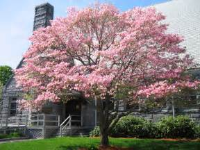 panoramio photo of pink tree flowers at their pick