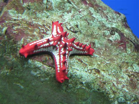 Knobbed Starfish by Knobbed Starfish Project Noah
