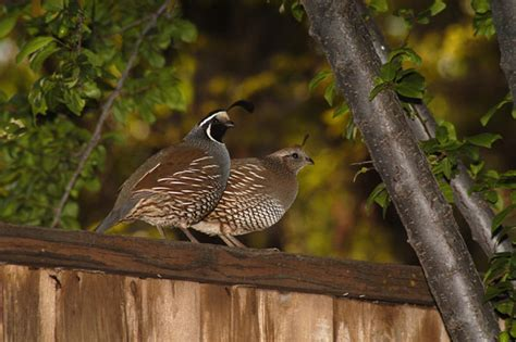 backyard birds salt lake city california quail