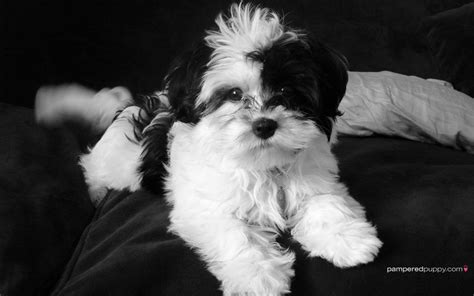 havanese puppies pictures havanese all small dogs wallpaper 14929806 fanpop breeds picture