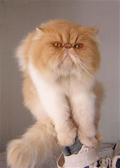 gatti persiani pelo corto cercagatto persiano longhair