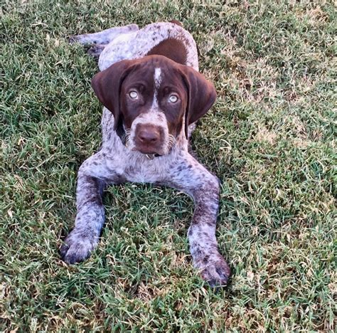 german shorthaired pointer puppies california view ad german shorthaired pointer puppy for sale california corona usa