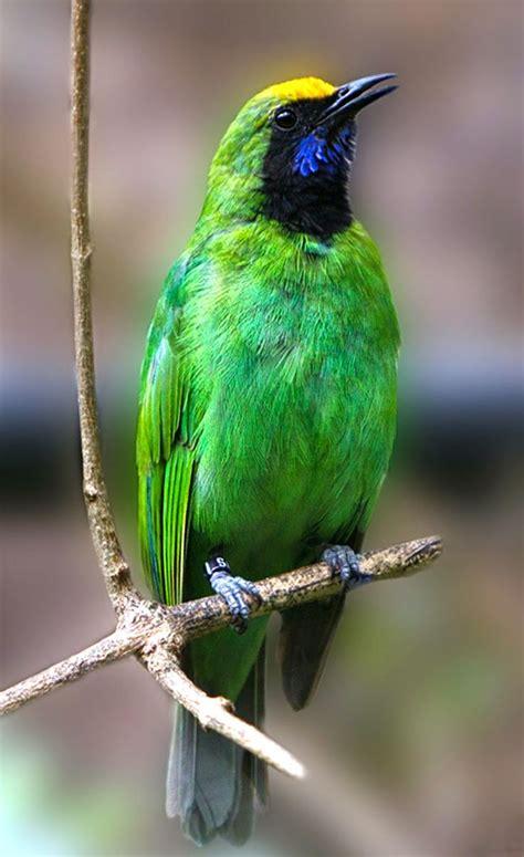 kaos burung cucak hijau 12 best greater green leafbird images on green