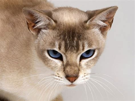 tonkinese pictures pics images and photos for inspiration