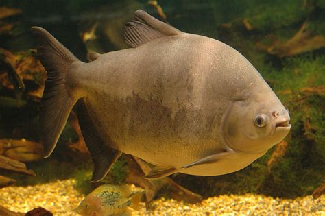 the pacu fish pics