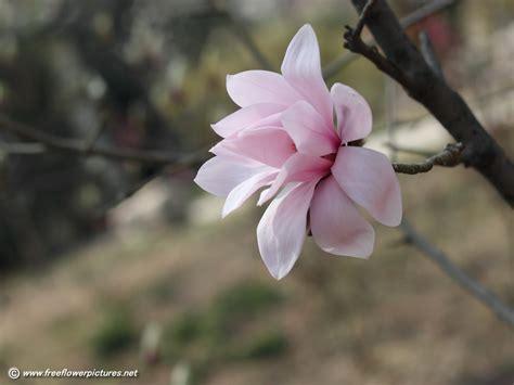 magnolia pictures magnolia flower pictures