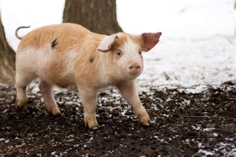 raising backyard pigs how to raise pigs in your backyard 28 images so you