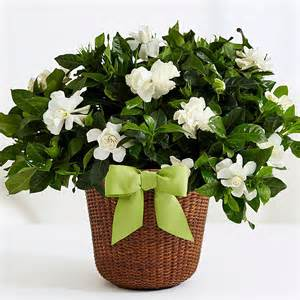 Gardenia House Plant Home And Garden Choosing The Best Indoor Plants For Fragrance
