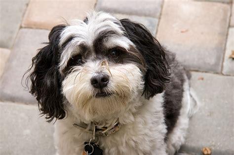 perro havanese 243 n habanero tu amigo el perro