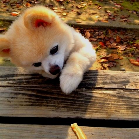 shunsuke pomeranian for sale 75 best shunsuke 俊介 images on beautiful puppies and board
