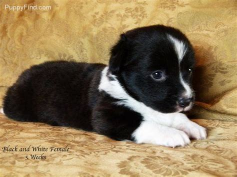 borgi puppies for sale 81 best images about borgis on puppys border collies and chs