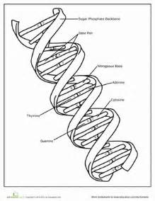 dna coloring worksheet dna worksheet education