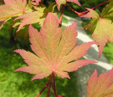 botanischer garten münchen itaya meigetsu 27640 japanese r maji common name