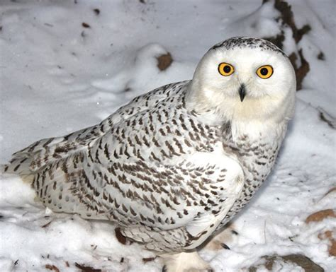 the snowy owl blueridgecountry com