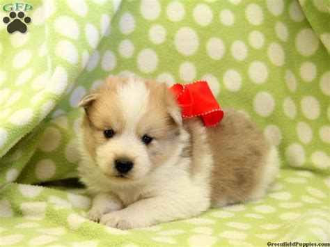 pomsky puppies for sale in pa 113 best images about pomsky puppies for sale on search husky and pomsky