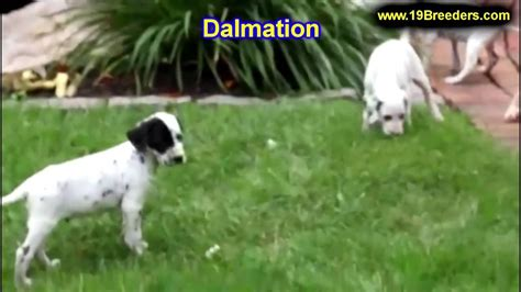 puppies for sale in fairbanks dalmatian puppies dogs for sale in anchorage alaska ak 19breeders fairbanks