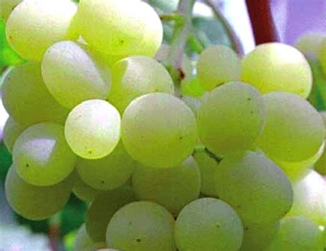 uva da tavola puglia uva di puglia igp eccellenze italiane