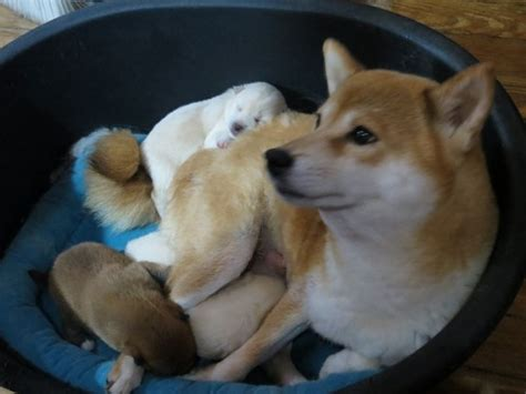 white shiba inu puppies news on improving facilitation new trends in education