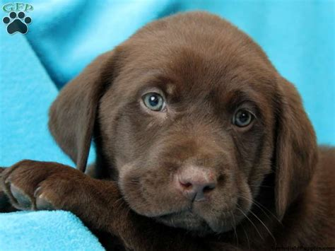 golden retriever chocolate chocolate lab puppies labrador retriever chocolate puppies for sale in pa warm