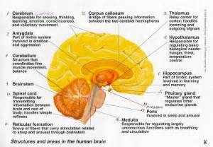 Structuresand functions of the human brain