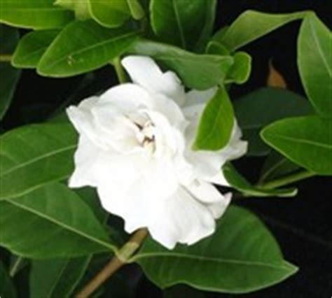 Gardenia Veitchii Pruning G Grandiflora G Augusta Shrubs