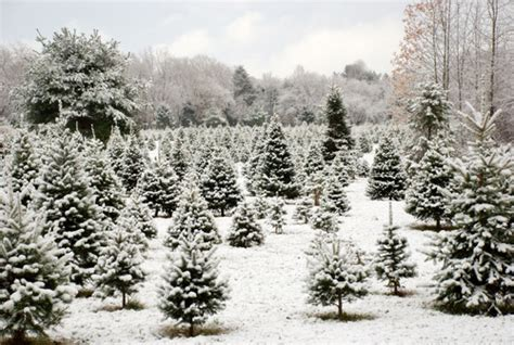 snow covered christmas trees snow covered trees pictures photos and images for and