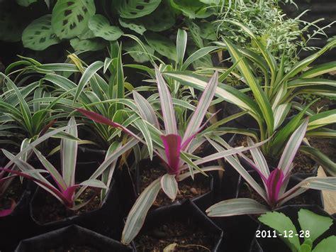 Tanaman Hias Keladi Tri Color Caladium Three Collour rumah bunga kuansing aneka tanaman hias
