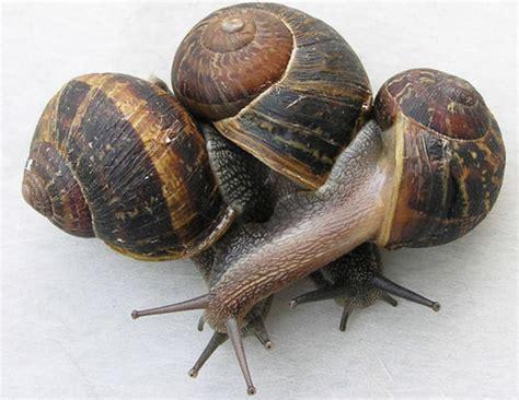 Brown Garden Snail by Brown Garden Snail Cornu Asperum M 252 Ller