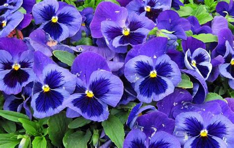 panse fiore pans 232 vivai ca de frati arezzo localit 224 agazzi