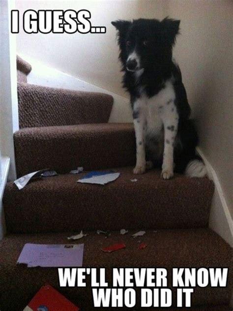 Border Collie Meme - 21 funny dog memes