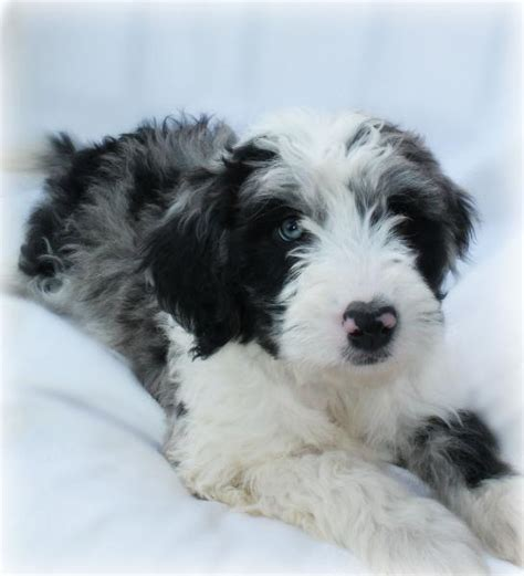 aussiedoodle puppies for sale michigan available puppies at camokin aussidoodles in wisconsin