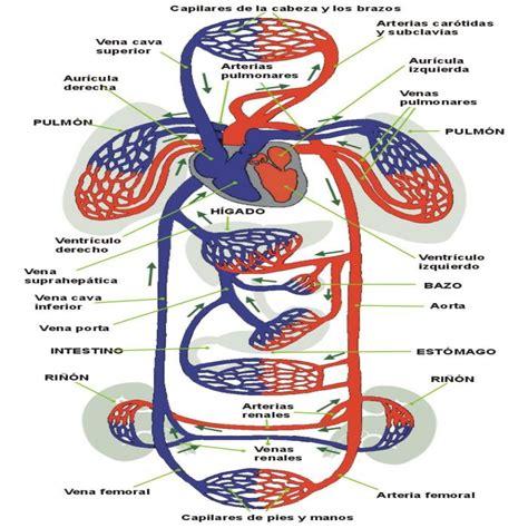 imágenes motivadoras para niños dibujos para colorear del sistema circulatorio para ni 241 os