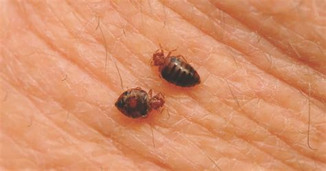 how bed bugs look image of a bed bug bite the best image 2017