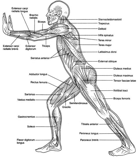 Human muscular system diagram 363 diagram picture