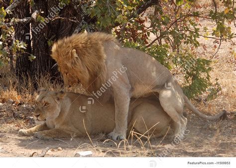 african mating ritualsvideos lion mating ritual stock picture i1509953 at featurepics