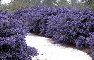 Small evergreen shrub with purple flower small evergreen trees for