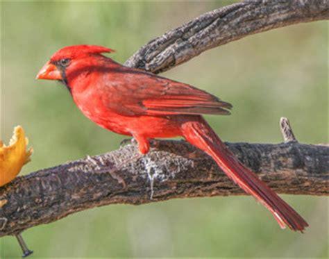 opiniones de cardinalis cardinalis