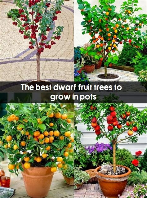 the best fruit trees to grow in pots fruit