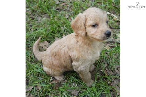mini goldendoodle tn goldendoodle puppy for sale near tennessee