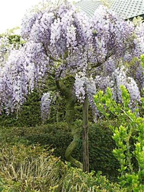 blauwe regen snoeien zomer een blauweregen wisteria op stam leiden mijntuin org