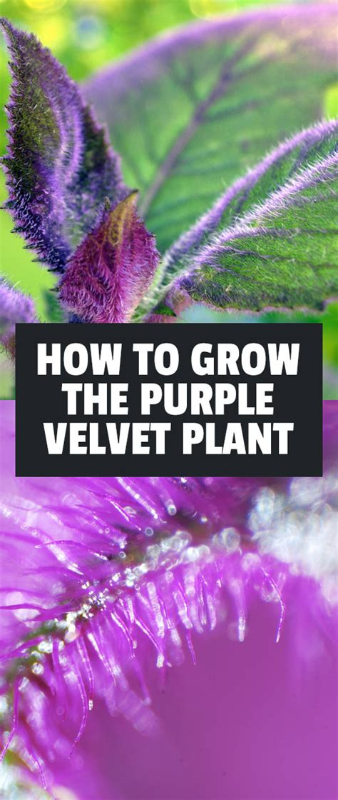 purple velvet plant gynura aurantiaca care guide