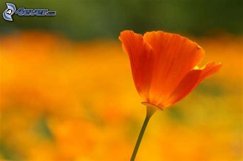 fiore arancio fiore arancio
