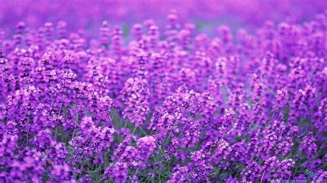 wallpaper flower lavender lavender flowers wallpaper 1920x1080 4899