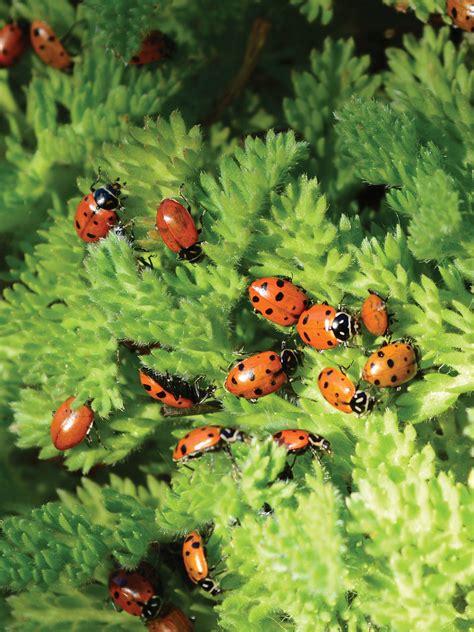 ladybugs  sale ladybug starter pack gardeners supply