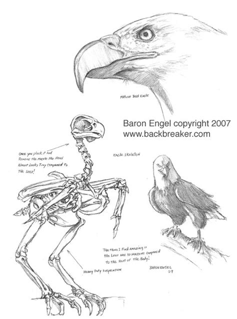 Bald Eagle study 01 by Baron-Engel on DeviantArt