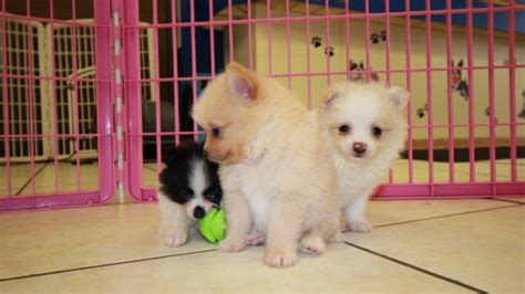 malti pom puppies for sale orange and white maltipom puppies for sale in ga at puppies for sale local