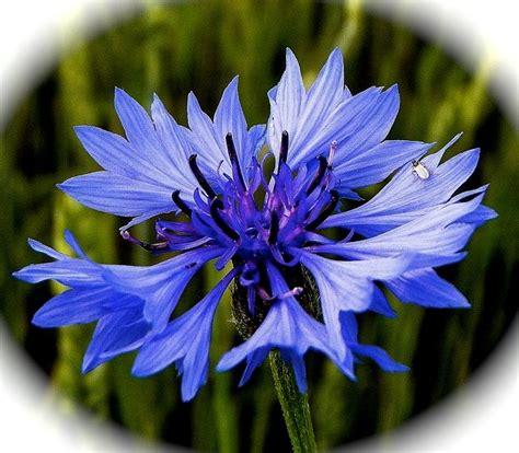 cornflower color cornflower blue by nicky jevon elaine bruce living foods